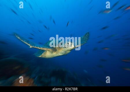 Tartaruga Verde, Chelonia Mydas, Lupo Isola, Galapagos, Ecuador Foto Stock