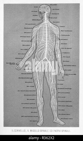 Vintage illustrazione di anatomia umana, cervello, midollo spinale e nervi spinali italiana con descrizioni anatomiche Foto Stock