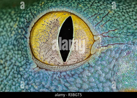 Geco eyeball close-up Foto Stock