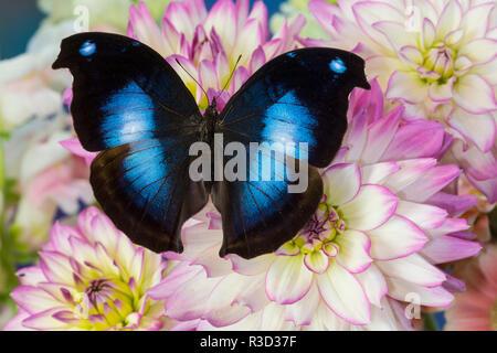 Farfalle tropicali jucunda Napeocles il grande blu su hookwing Dahlia Foto Stock