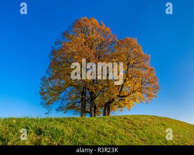 Limetere autunnale (Tilia platyphyllos), Diessen, Alta Baviera, Baviera, Germania, Europa Foto Stock
