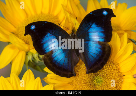 Farfalle tropicali jucunda Napeocles il grande blu Hookwing e girasoli Foto Stock