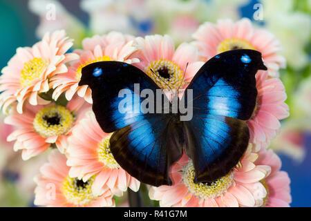 Farfalle tropicali jucunda Napeocles grande hookwing blu su rosa Gerber Daisy Foto Stock