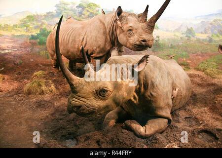Rhinoceros diorama Foto Stock