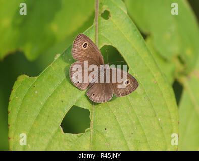 Quattro comuni-ring a farfalla per bagni di sole su una boccola Foto Stock