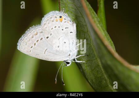 Codato orientale-blu, Cupido comyntas