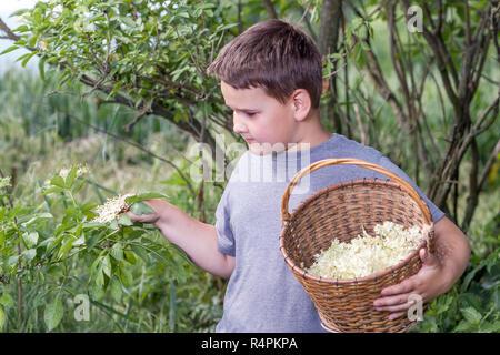 Benvenuti in Repubblica ceca - La raccolta di sambuco blossom flower - ragazzo con erbe completa cesto fiorito Foto Stock