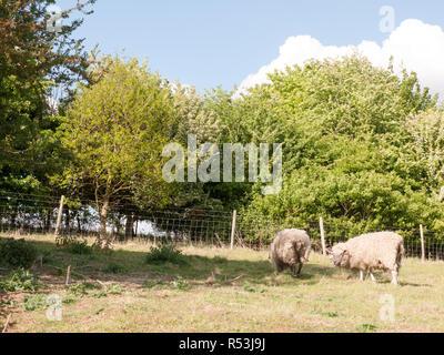 Due pecore in appoggio e il pascolo in un campo in un pomeriggio d'estate tempo di giorno con le spalle rivolte alla telecamera Foto Stock