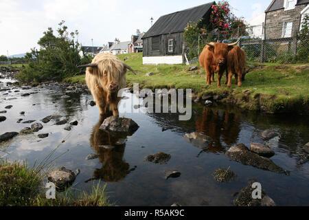 Highland bestiame. Fiume Duirinish nel crofting township di Duirinish, vicino plockton, Regno Unito, Scozia Allan Milligan / Alamy Stock Foto Stock