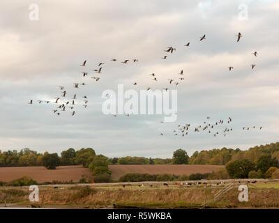 Sagome di oche in volo sopra il paese di scena in una linea sciame gregge Foto Stock