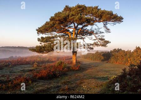 Un lone tree all'alba, Bratley vista nella New Forest National Park in Hampshire, Inghilterra, Regno Unito