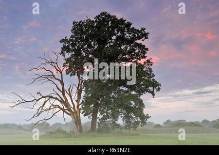 Vita e morte oak accanto a ogni altra in un prato nel fiume Elba golenali nella luce del mattino Foto Stock