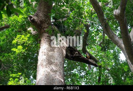Pomello Hornbill maschio Foto Stock