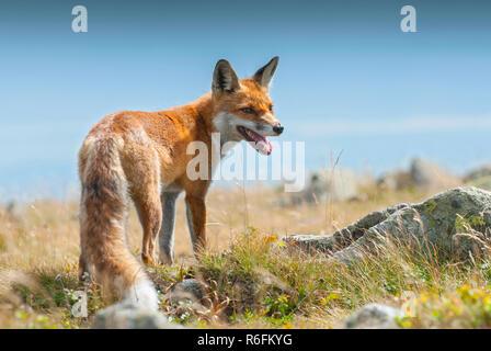 I giovani europei Red Fox (Vulpes vulpes vulpes), Babia Gora National Park, Polonia Foto Stock