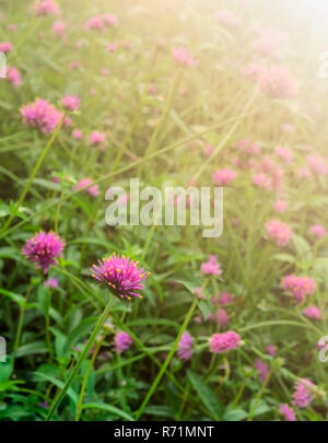 Gomphrena globosa o globo amaranto giardino di fiori con la luce solare Foto Stock