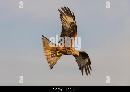 Aquilone rosso, Spagna, (Milvus milvus)