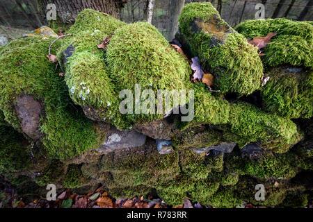 Muschi e licheni crescono a secco su un muro di pietra nel distretto di Peak UK Foto Stock