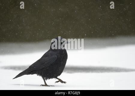 Carrion crow (Corvus corone) passeggiate sul lago ghiacciato di superficie nella caduta di neve, Wiltshire, Regno Unito, febbraio. Foto Stock