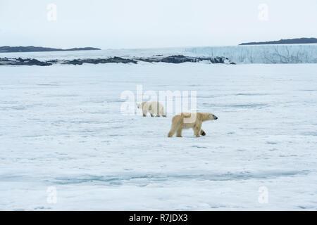 Due orsi polari, adulti e giovani, girando in circoli e rispettando ogni altra, arcipelago delle Svalbard, Norvegia Foto Stock