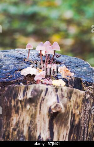 Close-Up di funghi / un gruppo di funghi toadstools , bosco selvatico funghi , piccoli funghi , funghi , Fungo con blur sullo sfondo Foto Stock
