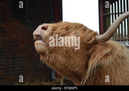 Mooing highland mucca Foto Stock