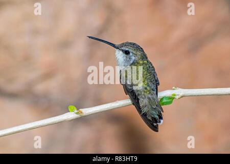 Hummingbird femmina appollaiato su un ramo con due foglie nuove emergenti Foto Stock