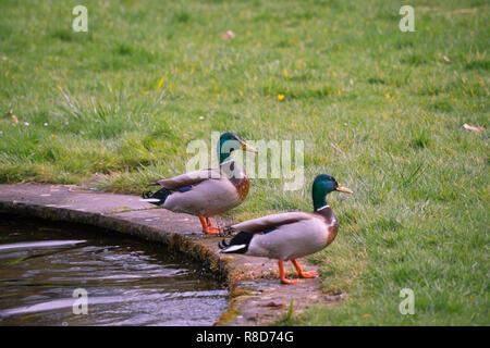 Close-up di due maschi di anatra germano reale (Anas platyrhynchos) in piedi su un prato verde. Foto Stock