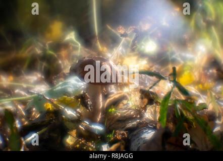 Foresta commestibile fungo arancione-cap (Boletus Leccinum aurantiacum) fra il verde muschio e foglie secche in autunno foresta. Vista frontale Closeup. Concetto di autunno Foto Stock