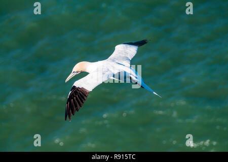 Northern gannet, Morus bassanus, volare sopra il mare Foto Stock