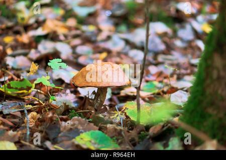 Un fungo nel fogliame, un fungo tra le foglie cadute, Foto Stock