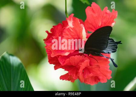 Memnone butterfly maschio su un rosso di fiori di ibisco - grande mormone a coda di rondine butterfly - grande farfalla nera sul fiore Malvaceae Malva fiore di famiglia Foto Stock