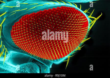 Occhio di un comune mosca della frutta ( Drosophila melanogaster), la microscopia a scansione elettronica Foto Stock