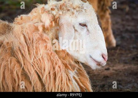 Close up di North Ronaldsay agnello in campo · Chiudere le pecore giacente  sul piano   lungo la lana di ovini in fattoria Foto Stock 4fbe11ed1df5