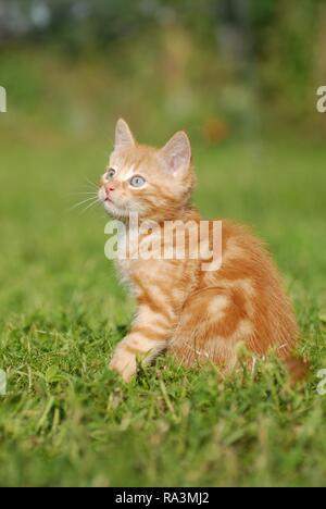 Casa gattino, rosso sgombro, 8 settimane, in seduta Wiese, Austria Foto Stock