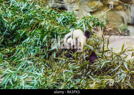 Panda gigante Ailuropoda melanoleuca mangiare bambù. Animali selvatici Foto Stock
