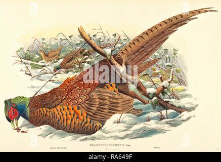 John Gould e W. Hart, British (attivo 1851-1898), Phasianus colchicus (anello colli) fagiano, colorate a mano reinventato