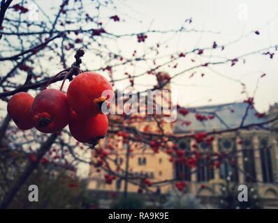 Close up di bacche rosse alberi da frutto in giardino nella parte anteriore del Chateau Saint Germain, Paris, Francia. Il freddo inverno mattina scenario.