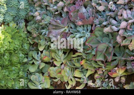 Parete di succulente Foto Stock