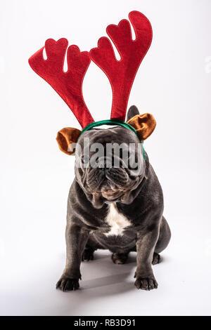 la scelta migliore nuovi speciali negozio online Carino bulldog francese indossando raindeer cerchietto per capelli ...