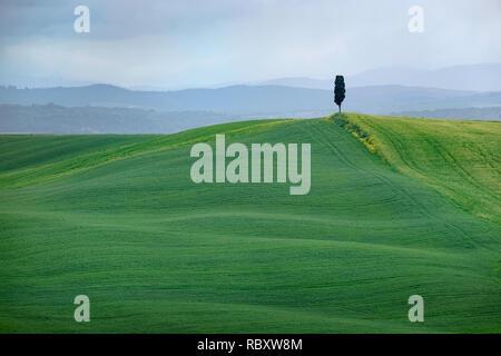 Albero solitario in una verde collina, in Toscana, Italia Foto Stock