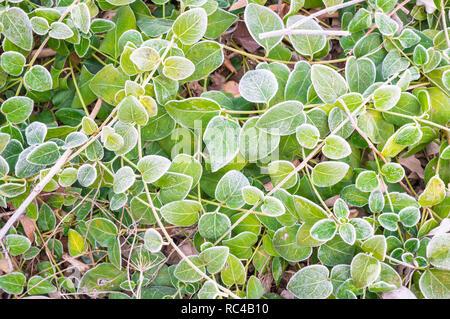 Il verde delle foglie cadute a terra durante l'autunno freddo mattino con gelo Foto Stock