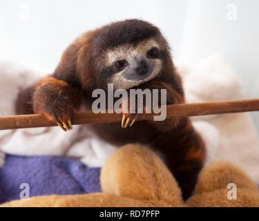 Baby marrone-throated il bradipo (Bradypus variegatus) durante il tempo di gioco in vivaio a un bradipo santuario Foto Stock