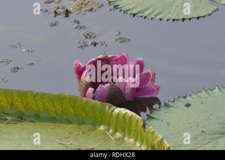 Una bellissima Ninfea rosa (Victoria ) o fiore di loto in stagno Foto Stock