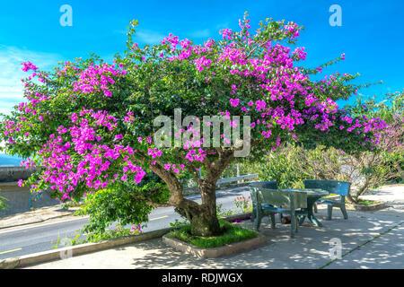 Struttura bouganville colorate fioriture di viola sotto il luminoso sole di mattina.