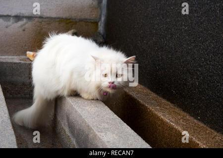 White longhair gatto persiano leccare il suo naso con la lingua dopo aver bevuto acqua dalla piscina esterna Foto Stock