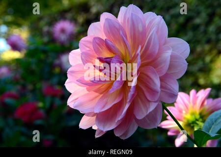 Crisantemo rosa fiorisce in delicata luce solare, il fiore ufficiale di Salinas, California, e il fiore di novembre Foto Stock