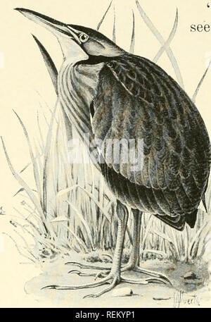 """. Cittadino bird: scene di vita di uccello in inglese semplice per i principianti. Gli uccelli. 366 CITTADINO BIRD alcuni molto alte erbe e bandiere a secco ; per è stato lungo in autunno, quando le cose sono state girando il marrone. Non so come mai mi è venuto a vedere lui ; ma quando ho fatto, egli ha guardato in modo queer che ha quasi paura di me, e ho detto a Miller, ' qualunque cosa è che ? ' """" Per un minuto non poteva vedere nulla, e poi ha detto, . """"Pshaw io che solo un io tarabuso ; ma voglio 1 aveva la mia pistola.'' """" perché non ha j move ? ' Detto I. ' guardare al modo in cui egli tiene la sua testa diritta fino, come un bastone. Sto andando round b Foto Stock"""
