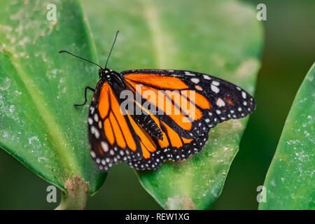 Farfalla monarca (Danaus plexippus), con ante aperte su una foglia verde Foto Stock
