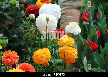 Giallo, arancione, bianco e rosso Ranunculus fiori accanto ai tulipani rossi in un giardino in primavera Foto Stock