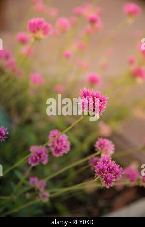 Gomphrena globosa o fiore di fuochi d'artificio. Fiore violaceo nel disco solare. Foto Stock
